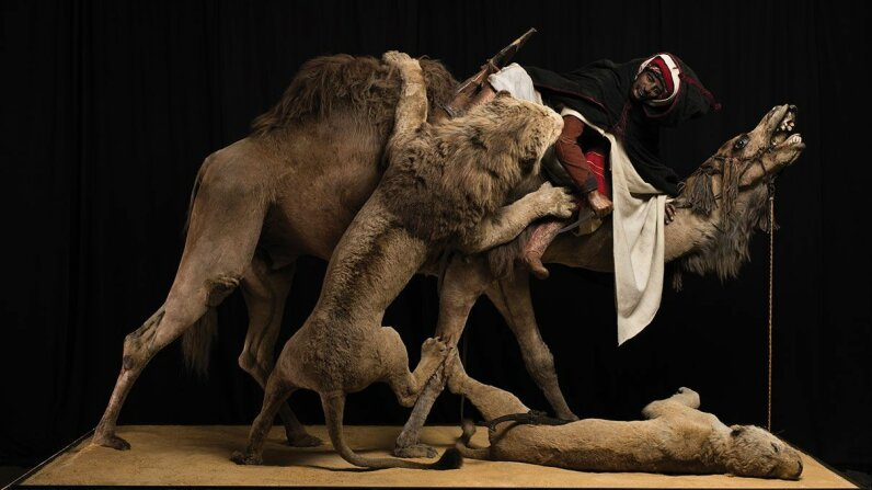 "The diorama ""Lion Attacking a Dromedary"" at the Carnegie Museum of Natural History unknowingly featured a human skull. Josh Franzos/Carnegie Museum of Natural History"