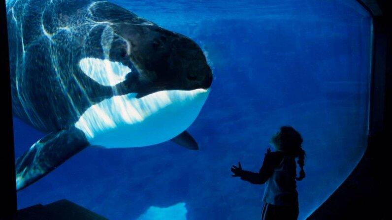 Orca at SeaWorld park