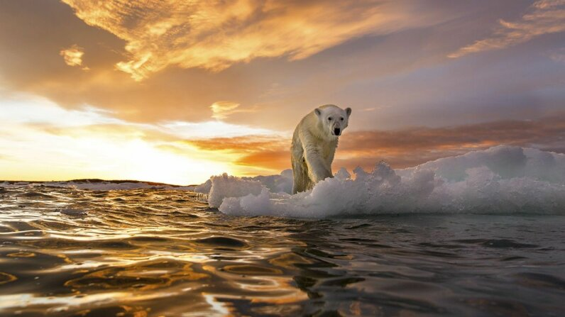 A polar bear walks atop sea ice in the Arctic Ocean. Paul Souders/Getty Images