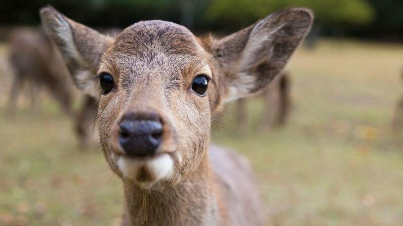 Native to East Asia, the sika deer (Cervus nippon) also goes by the names spotted deer and Japanese deer. Afla/Getty Images