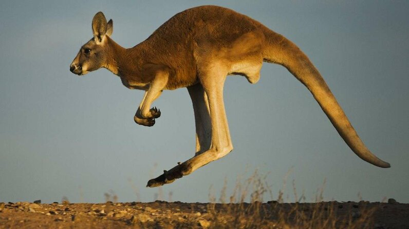 Elephants have been known to mourn. Kangaroos? Not so much.  Jami Tarris/Corbis