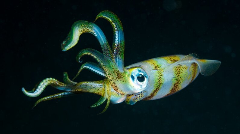 Scientists investigated how the brain of an oval squid processes its pattern and coloration creation. Jones/Shimlock-Secret Sea Visions/Getty Images