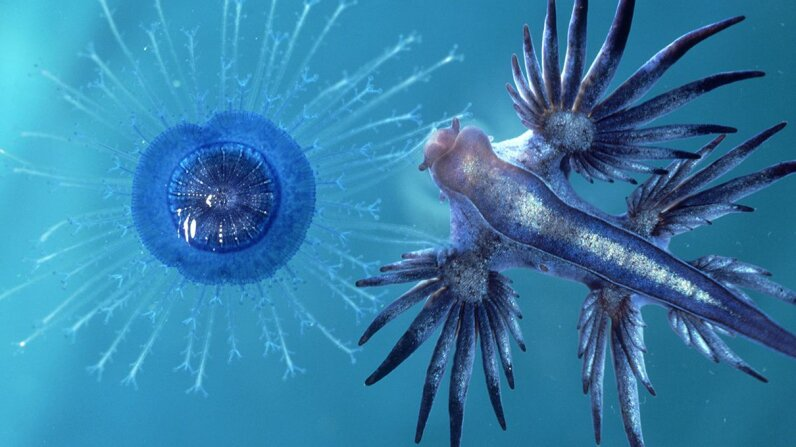 A new episode of Stuff to Blow Your Mind explore six species of gastropods, including the blue dragon (Glaucus atlanticus), pictured here on the right. Oxford Scientific/Getty Images