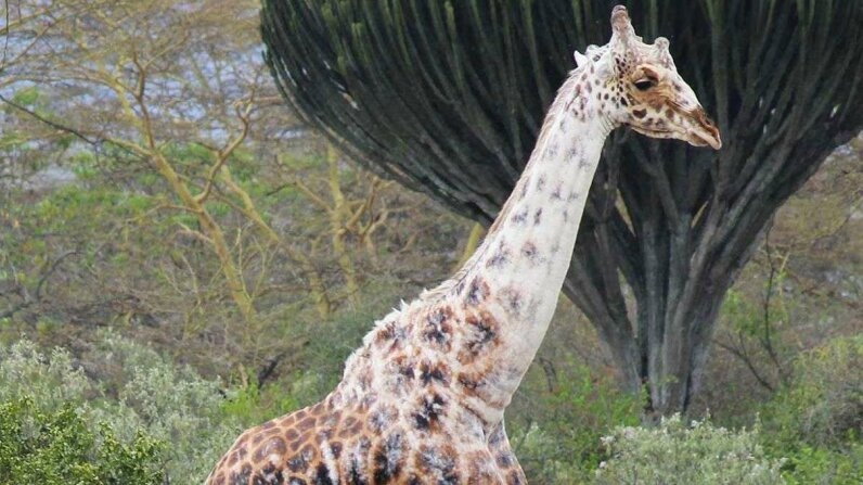 This giraffe has the same skin condition as Michael Jackson. New Scientist/YouTube