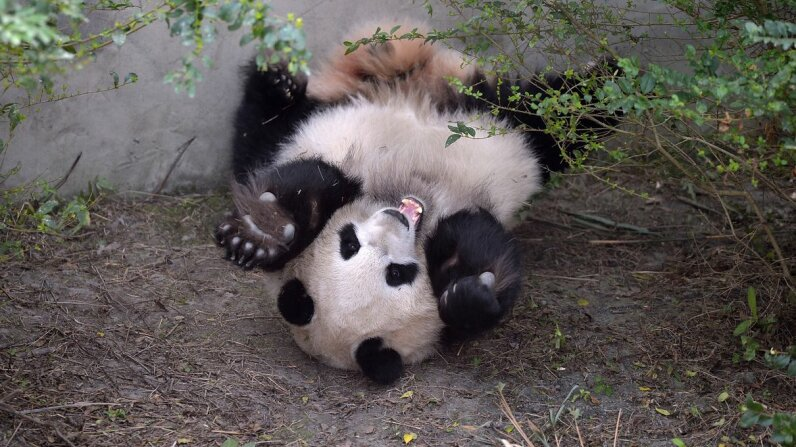 Giant panda Mei Huan looks pretty happy lying on the ground at Chengdu Research Base of Giant Panda Breeding in China on Nov. 16, 2016. She and her twin Mei Lun had come to the base a few weeks earlier. Wang Qin/Chengdu Economic Daily/VCG via Getty Images