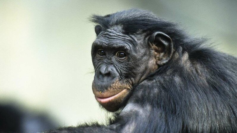 A new study finds that aging bonobo (Pan paniscus) apes experience a deterioration of vision similar to that of humans. Konrad Wothe/Getty Images