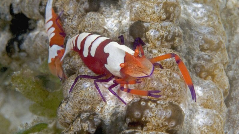 Crustaceans, like this imperial shrimp, have shells with antibacterial properties. Dave Fleetham/Getty Images