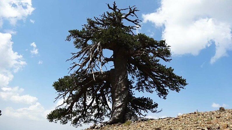 Adonis, a Bosnian pine, is one of the oldest trees in Europe. Dr. Oliver Konter, Mainz