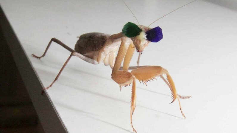 Scientists study stereopsis and mantis vision using tiny 3-D glasses, and showed the insect a both 2-D and 3-D videos of prey to see how they reacted. Newcastle university