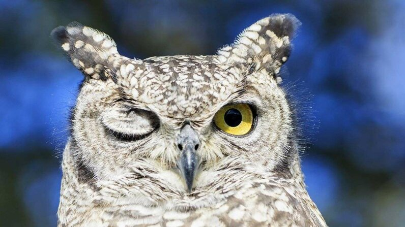 A spotted eagle owl closes one eye in Botswana's Central Kalahari Game Reserve.  Fotofeeling/Westend61/Corbis