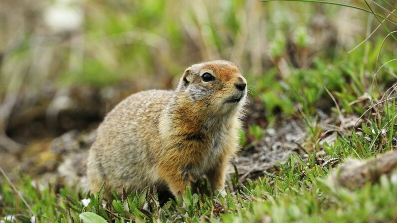 Arctic ground squirrels emerge from hibernation every April to forage for food, and the males experience puberty all over again. Thomas Sbampato/Getty Images