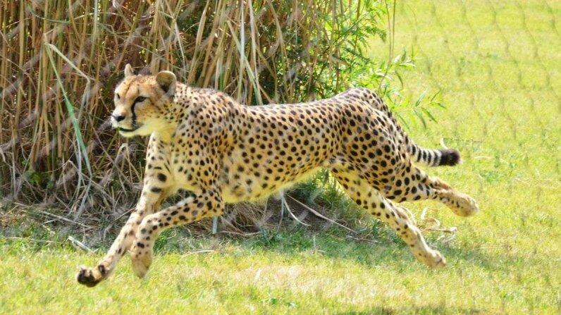 The cheetah named Sarah, pictured here in 2011, was the world's fastest-ever-measured land animal; she died on January 21, 2016 flickr/bontempscharly