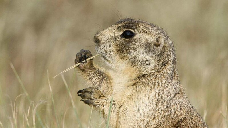 Imagine this white-tailed prairie dog (Cynomys leucurus) wearing the porkpie hat of a mobster, and you're closer to understanding why the seemingly cute critters ruthlessly kill ground squirrels. Roberta Olenick/Getty Images