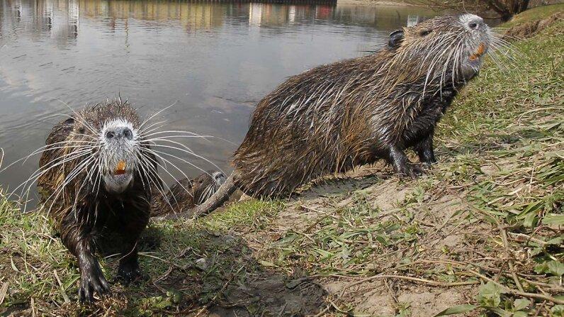 nutria, river rats