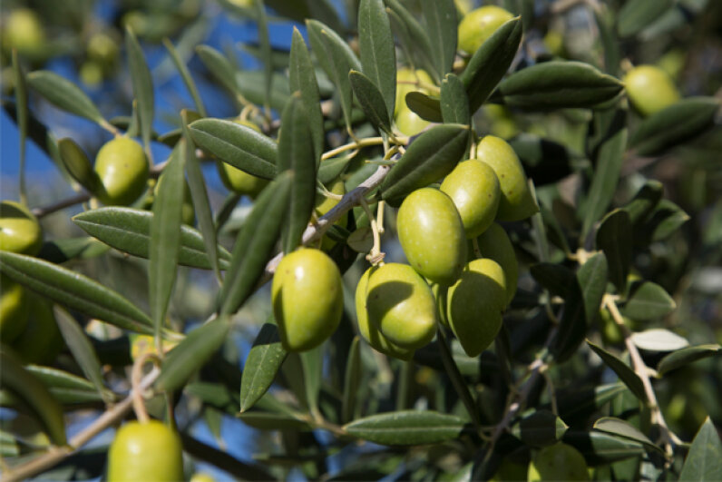 Raw olives are incredibly bitter and essentially inedible. © Mike Kemp/In Pictures/Corbis