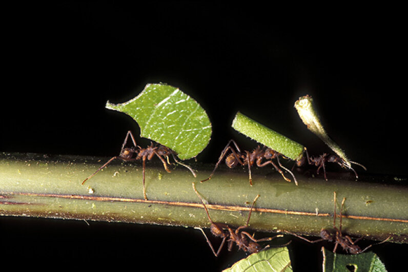 Leaf-cutter ants, one member of the Cephalotes family, carry vegetation in the Costa Rican rainforest. Steven Kaufman/Getty Images