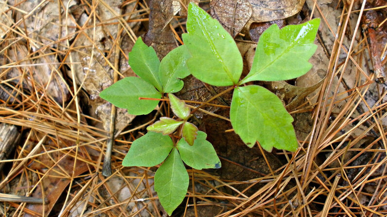 poison ivy saplings