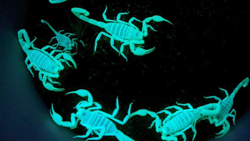 scorpion, glow