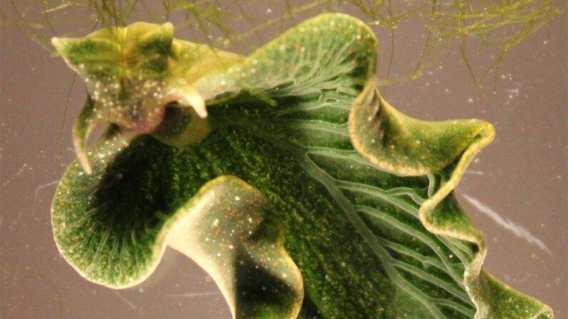 sea slug, algae