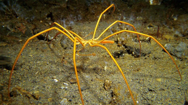 sea spider, breathing