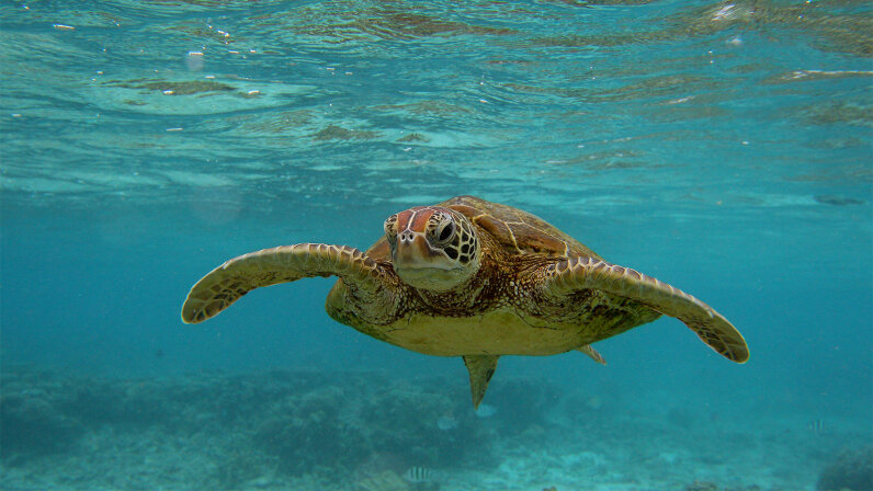 sea turtle, endangered species act