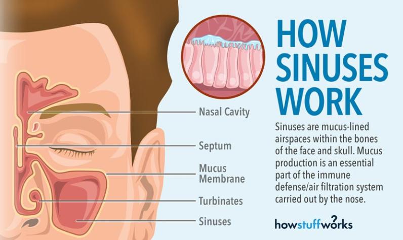 How sinuses work. © 2016 HowStuffWorks