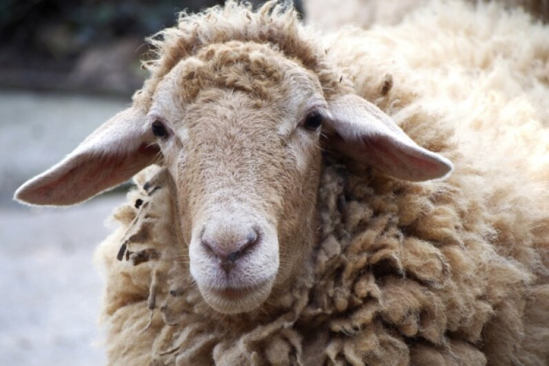 Sheep are sharp. You just have to get 'em alone. Crazybboy/iStock/Thinkstock
