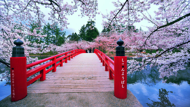 Cherry blossoms are in full bloom at Sakura Bridge, Japan.