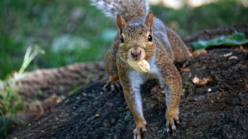 "Tree squirrels use a mnemonic technique called ""spatial chunking"" to sort out and bury their nut scores by size, type, and perhaps nutritional value and taste. Tobias Svens_n/EyeEm/Getty Images"