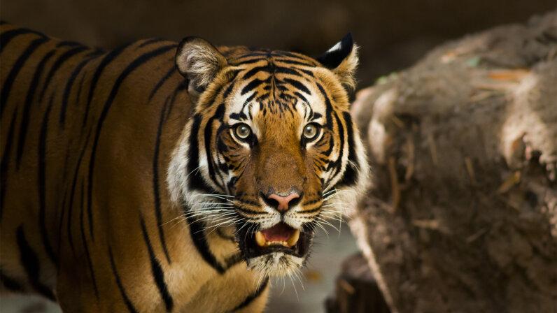 Sumatran tiger, frozen zoo