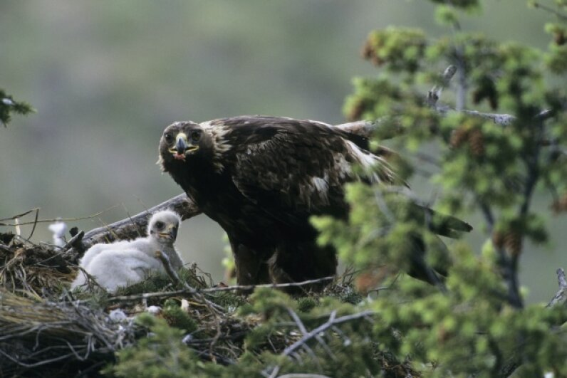 See how there's just one eaglet in there with the golden eagle adult? We're just saying …  © Daniel J. Cox/Corbis