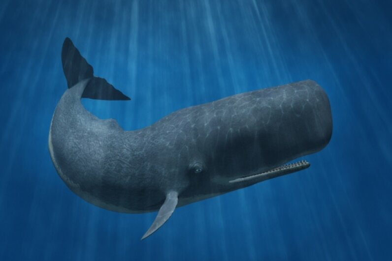 A sperm whale, the cause of the Essex misadventures iStockphoto/Thinkstock