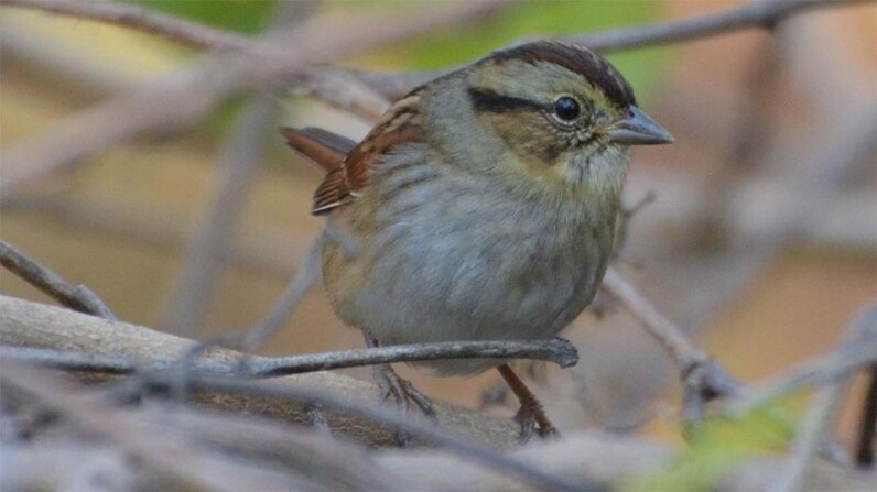 swamp sparrow, song