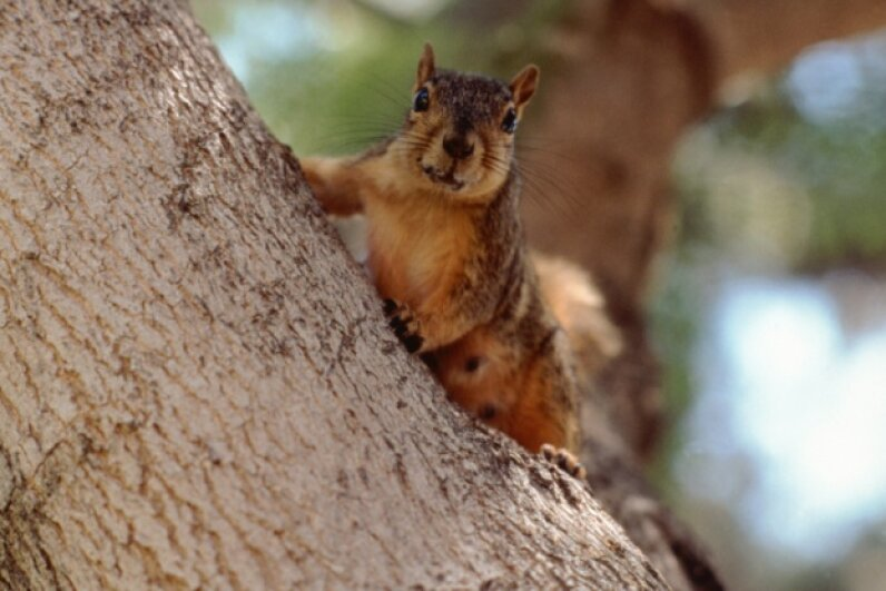 Squirrels are practiced at the art of deception, so researchers have turned to these wily rodents for a few ideas on teaching robots deceptive behavior. John Foxx/Stockbyte/Thinkstock