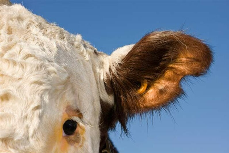 This Hereford cow has an RFID tag in its ear. The tag lets the farmer know how much and  when each cow is eating. kycstudio/Getty Images