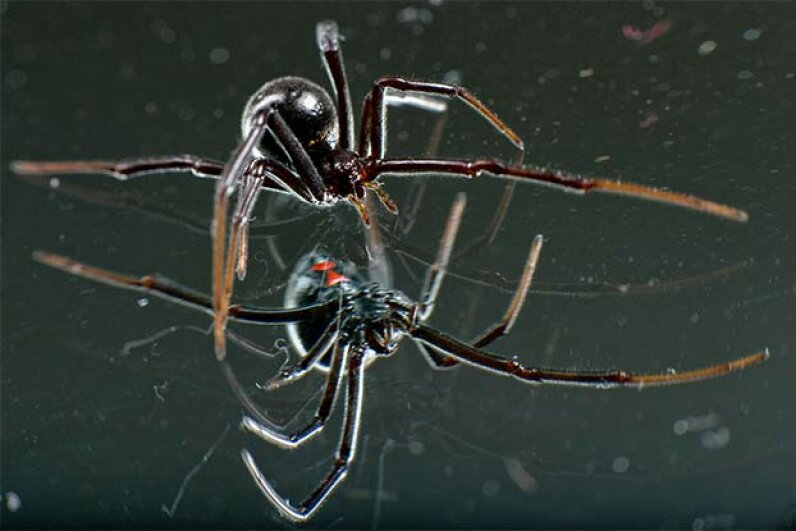 With the telltale red hourglass visible on her abdomen, a female black widow spider craws over the surface of a mirror -- just one example of a beautiful and terrifying spider.  © Robin Loznak/ZUMA Press/Corbis