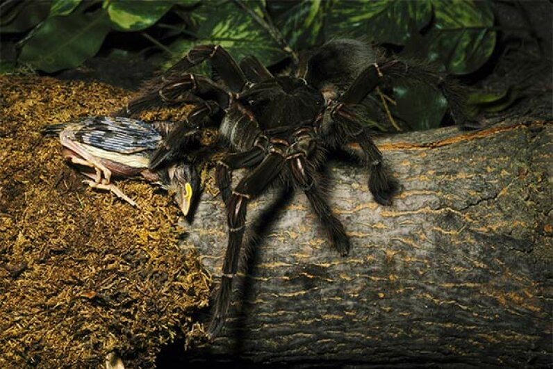 Despite its name (and this picture), the Goliath-bird eating spider rarely eats birds, prefering to dine on insects and frogs. John S. Mitchell/Getty Images