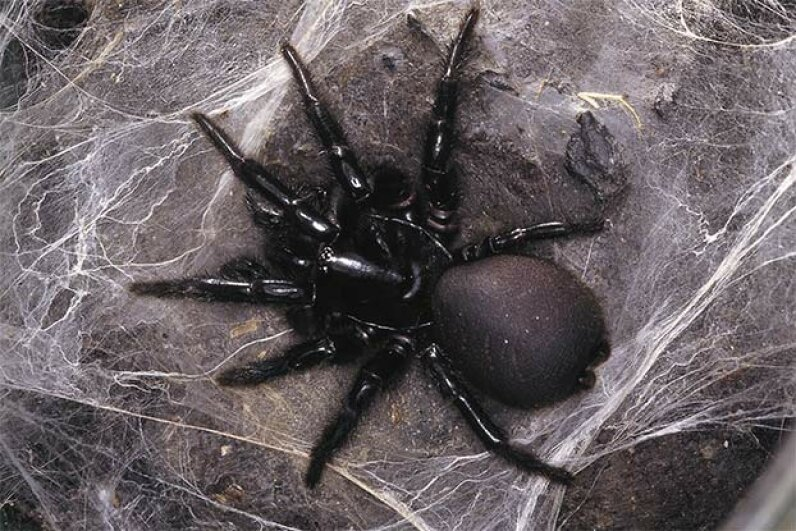 The Sydney funnel-web spider looks a little like a black leather glove -- and packs a punch too. © Esther Beaton/Corbis