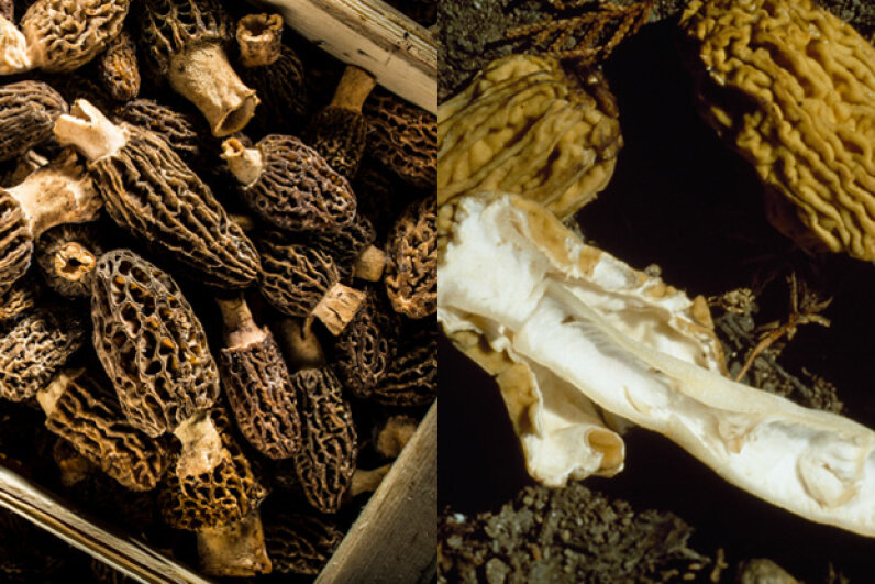 The mushrooms on the left are real morels, while the ones on the right are false morels, which can be very toxic. ABERRATION FILMS LTD/SCIENCE PHOTO LIBRARY, DeAgostini/Getty Images