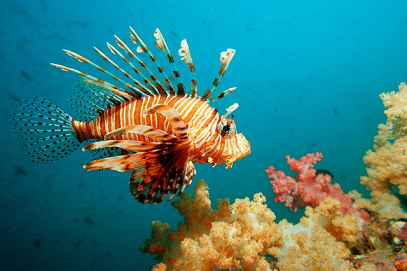Lionfish have multiplied in the Caribbean Sea where they have no known predators. Reinhard Dirscherl/WaterFrame/Getty Image