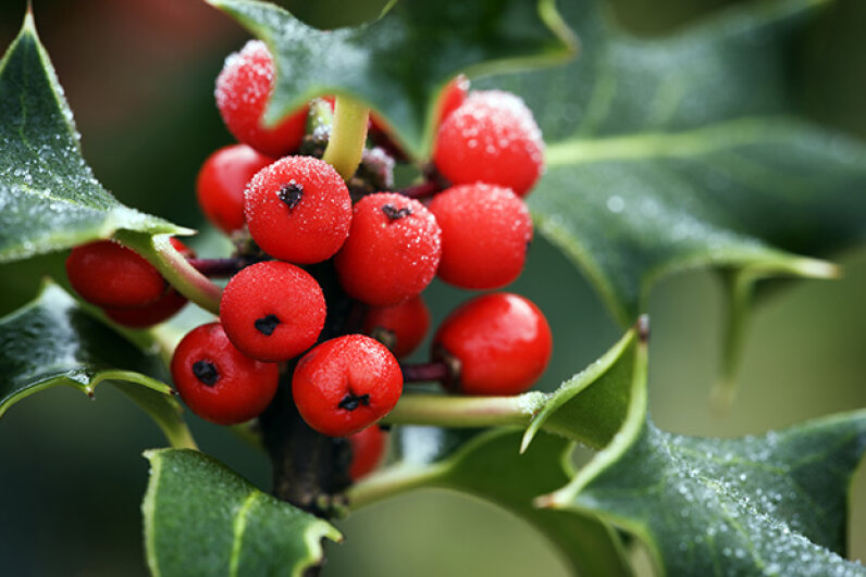 Frost-covered holly berries look good enough to eat. But they are poisonous. James A. Gulliam/Photolibrary/Getty Images