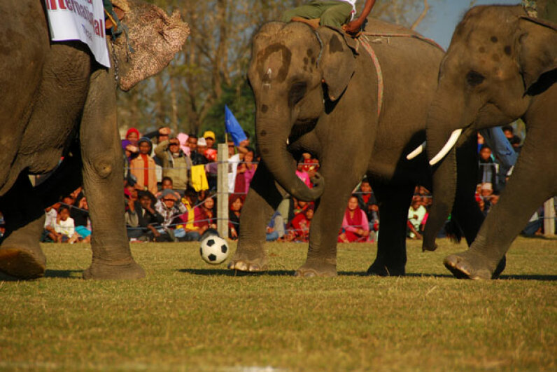 Sauraha also hosts the International Elephant Festival which promotes conservation and gets together local pachyderms for a friendly game of soccer. © Sunil Pradhan/Xinhua Press/Corbis