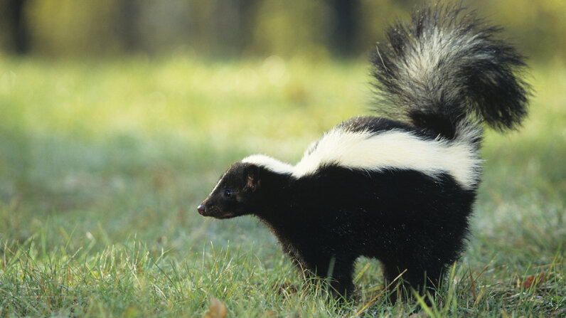 striped skunk (Mephitis mephitis) spraying