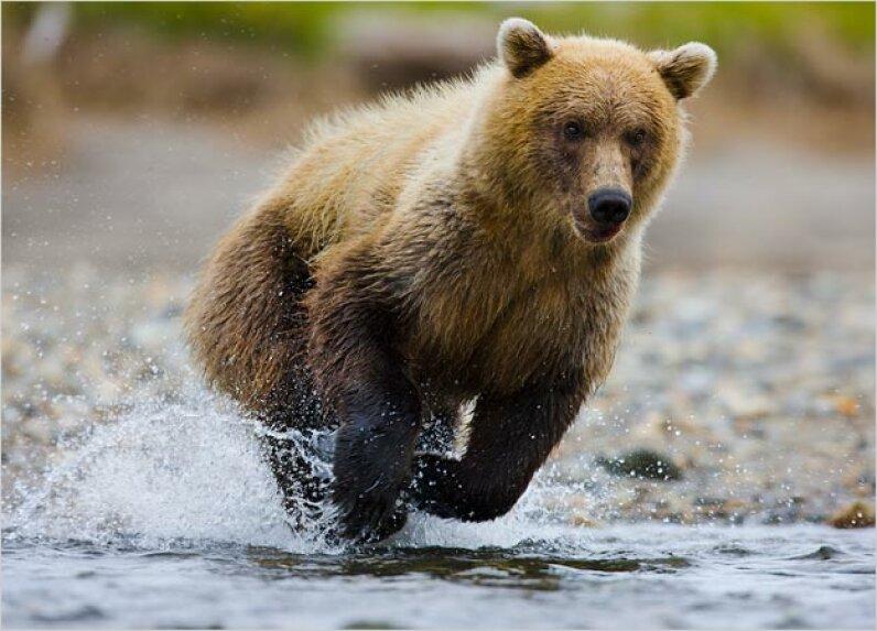 Brown Bear Theo Allofs/Corbis