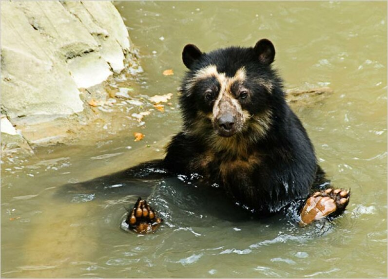 Spectacled Bear iStockphoto/Thinkstock