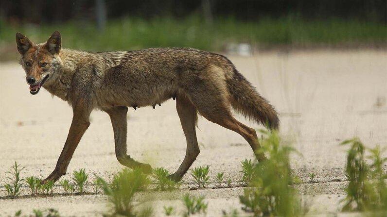 coyotes, pets