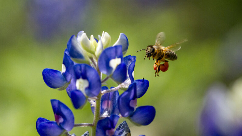 bee, vaccine