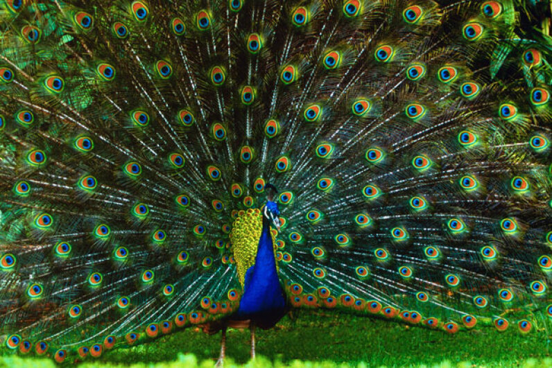 A peacock struts his stuff at the San Diego Zoo. He wouldn't look too out of place at the glitzy and colorful casinos. © Chase Swift/CORBIS