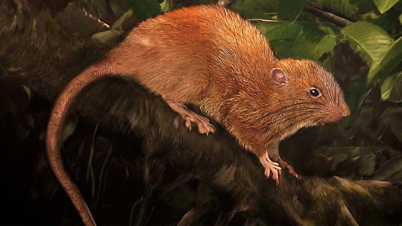 This illustration depicts the newly identified giant rat Uromys vika, an arboreal rat native to the Solomon Islands. Velizar Simeonovski/The Field Museum
