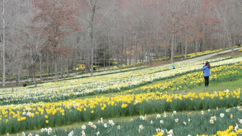 daffodils at Gibbs Gardens